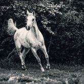 White arabian horse portrait on the green forest background