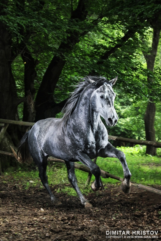 Gray horse running in the green forest photography featured equine photography animals  Photo