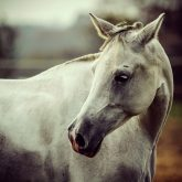 Lonely white horse