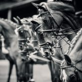 Portrait of a sport horses