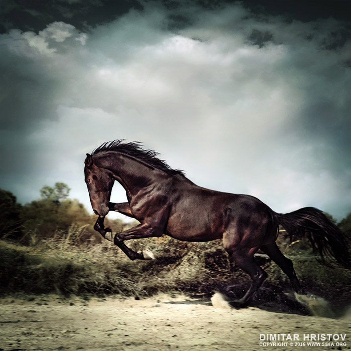 Beautiful black stallion horse running on the stormy sky photography featured equine photography animals  Photo
