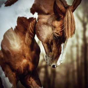 Portrait of paint horse stallion