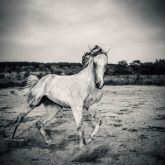 Beautyful white horse galloping – Black and White photography