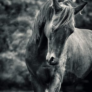 Black and white portrait of horse