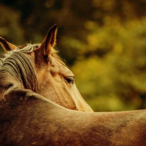 Close-up of a horse head – Horse warm sunny colors portrait