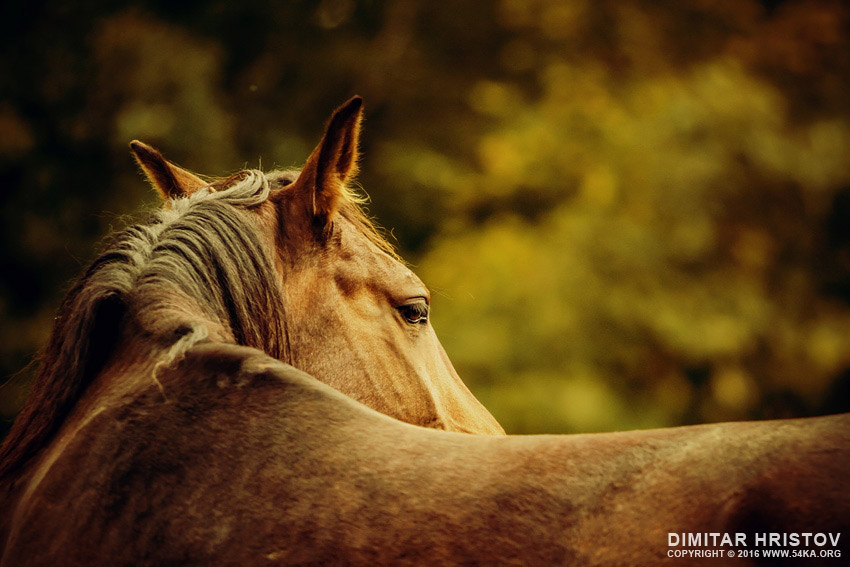 Close up of a horse head – Horse warm sunny colors portrait photography top rated featured equine photography animals  Photo