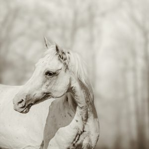 Close up portrait of lone white horse