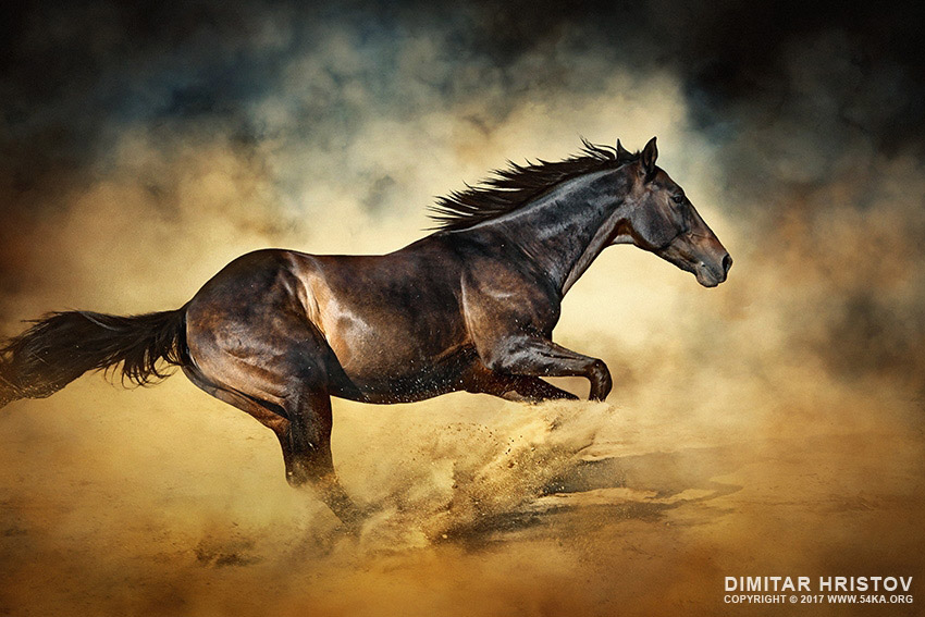 Black stallion horse   galloping like a devil photography top rated featured equine photography animals  Photo