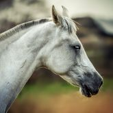 Equine portrait – White horse head