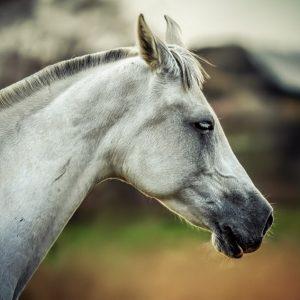Equine portrait – White horse head