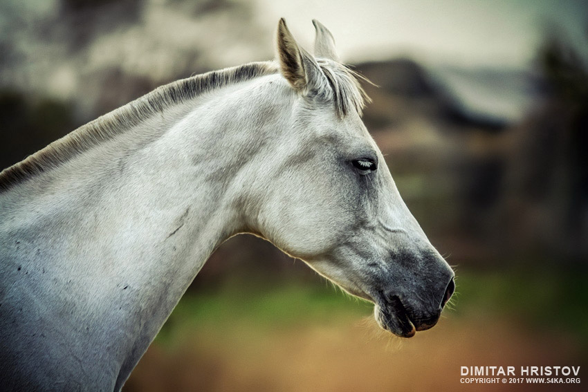 Equine portrait   White horse head photography featured equine photography animals  Photo