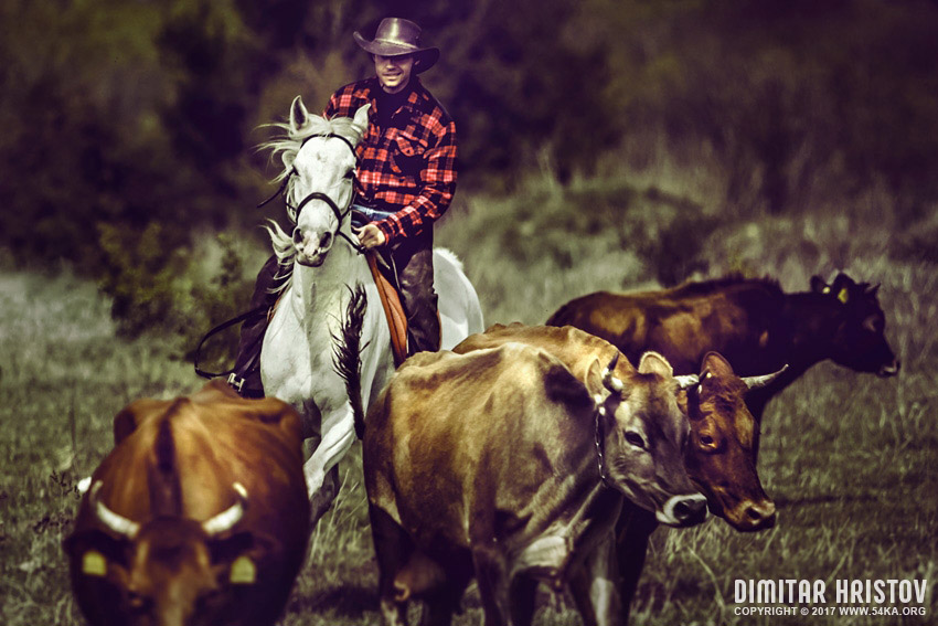 Cowboy catching calves photography featured equine photography animals  Photo