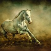 White Arabian Stallion Running In Dust