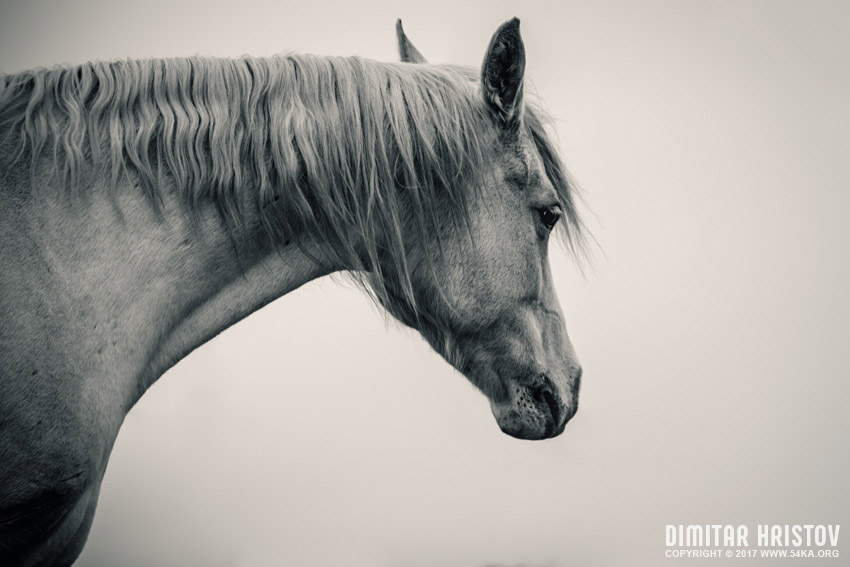 White Horse Neck photography equine photography black and white animals  Photo