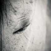 Beautiful white horse with closed eyes