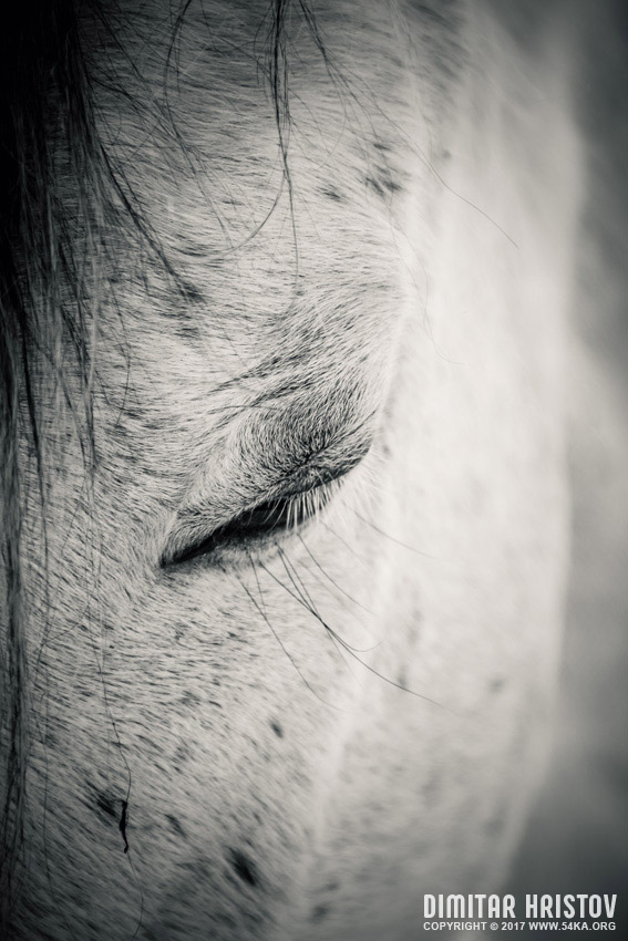 Beautiful white horse with closed eyes photography featured equine photography black and white animals  Photo