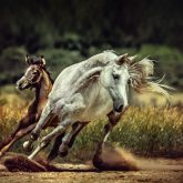 White horse and foal – Running wild