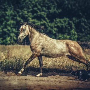 Dog and arabian horse running