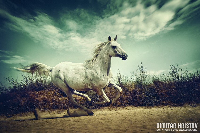 White Andalusian horse runs gallop in summer time photography featured equine photography animals  Photo