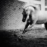 White Horse Galloping – Black And White Photography