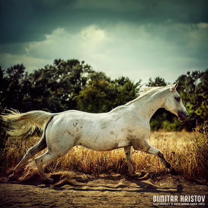 White horse runs gallop photography featured equine photography animals  Photo