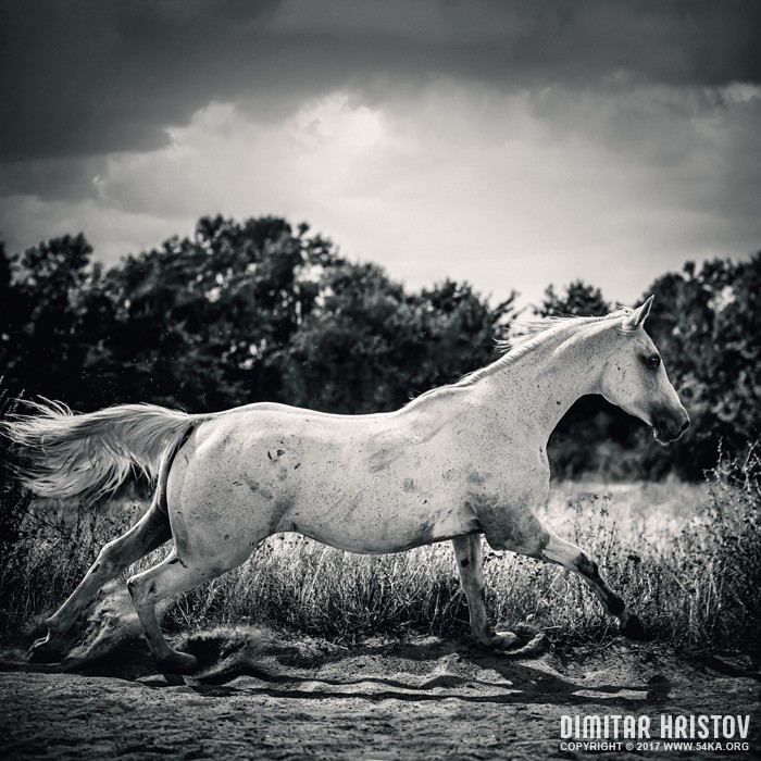 Arabian horse running in the field photography featured equine photography black and white animals  Photo