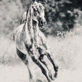 Arabian horse running on sunny meadow
