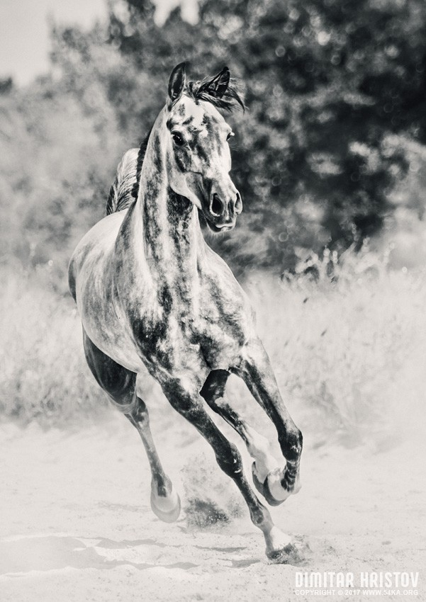 Arabian horse running on sunny meadow photography featured equine photography animals  Photo