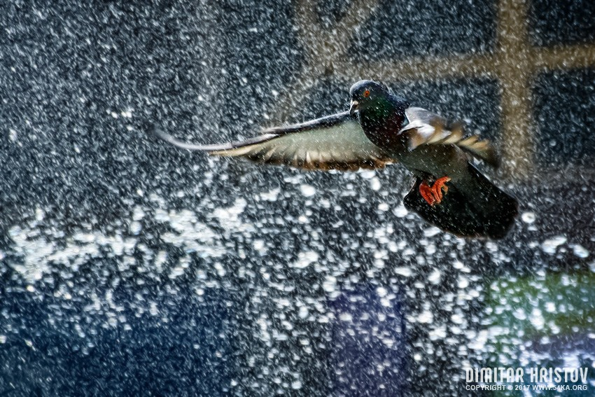 Dove flying over water photography other featured animals  Photo