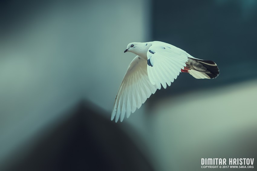 White dove fly with the wind photography other top rated featured animals  Photo