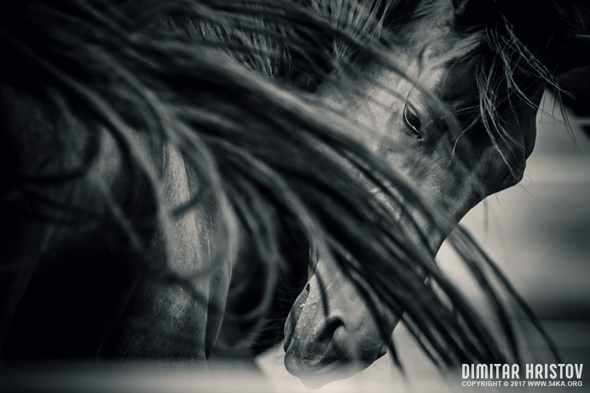 Arab horse portrait   Black and White photography featured equine photography black and white animals  Photo