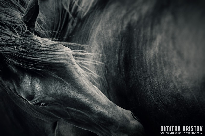 Black horse portrait   Black and white photography featured equine photography animals  Photo