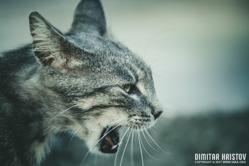 Hissing Cat photography animals  Photo