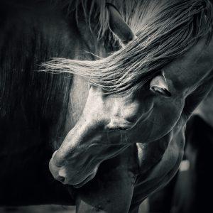 Horse – Black and White Portrait