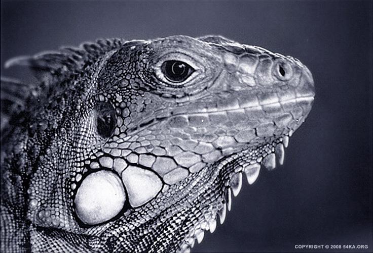 Iguana photography animals  Photo