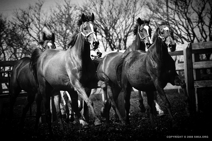 Horses VI photography equine photography daily dose black and white animals  Photo