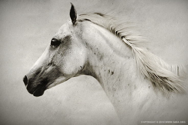 The White Horse photography photomanipulation featured equine photography animals  Photo
