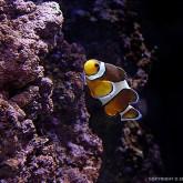 Clownfish I