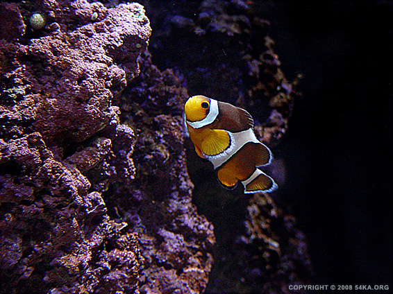 Clownfish I photography animals  Photo