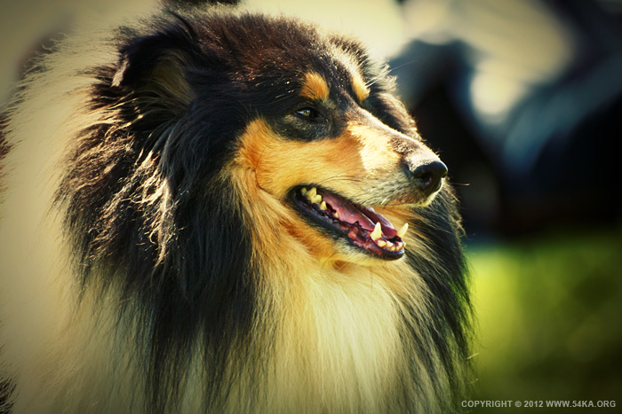 Lassie photography animals  Photo
