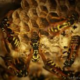 Wasp I