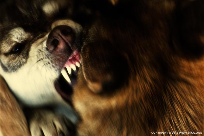 Werewolf photography animals  Photo