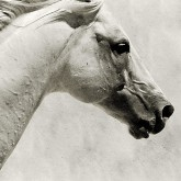 The White Horse III – White Horse Portrait