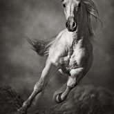 Galloping White Horse in Dust