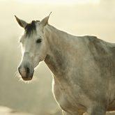 White Horse Vintage Portrait