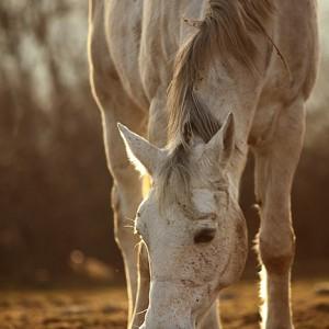 Grazing White Horse