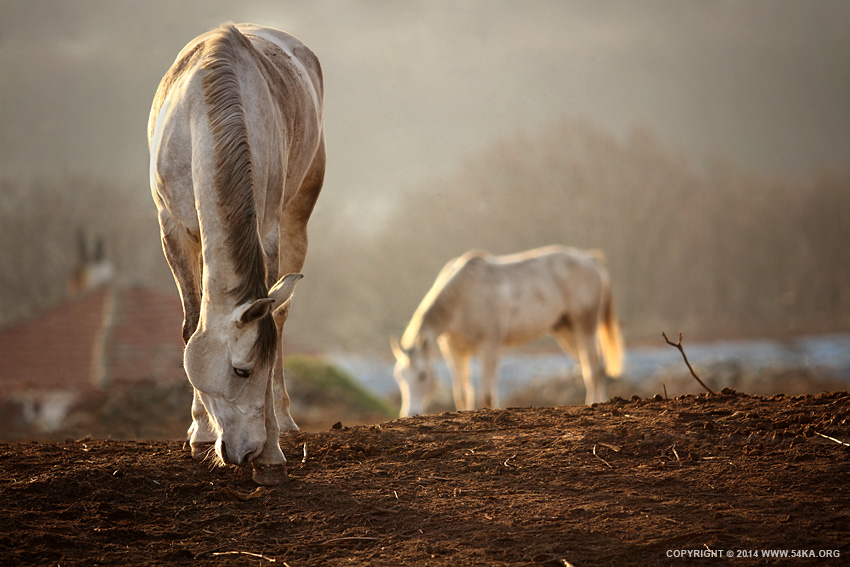 Horses Winter Grazing photography equine photography animals  Photo