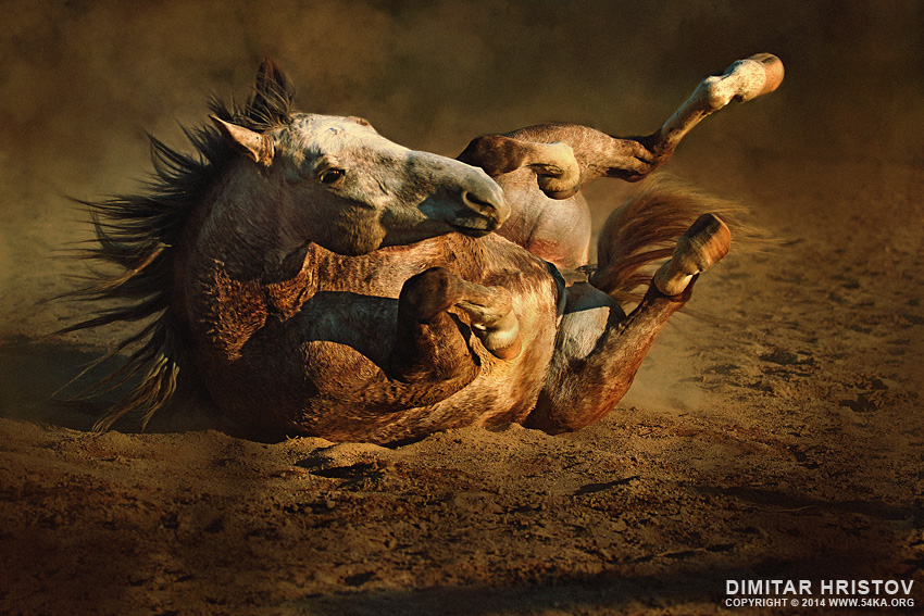Rolling Horse photography photomanipulation featured equine photography animals  Photo