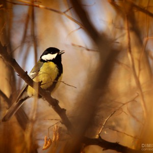 Titmouse – Song in The Forest