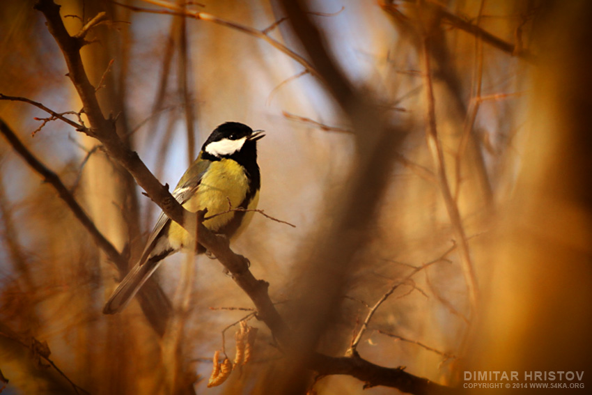 Titmouse   Song in The Forest photography animals  Photo
